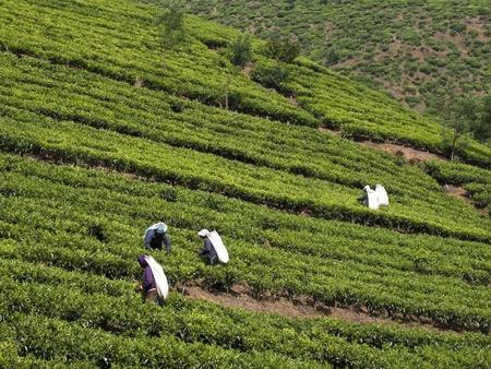 Kandy, Sri Lanka-5. M�rz 2012: Frauen ernten Teebl�tter.