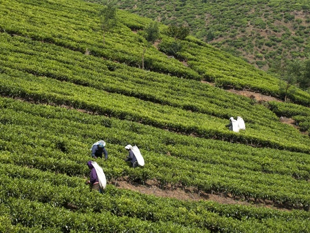 Kandy, Sri Lanka- March 05, 2012: Women harvesting tea leaves. Editorial