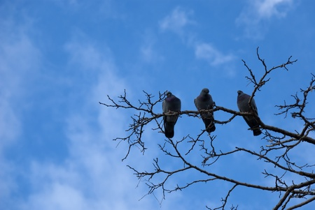 Three  pigeons on a branch of tree