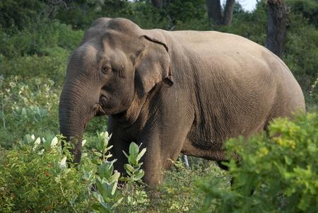 Elefant in der Natur bei Yala National Park, Sri Lanka