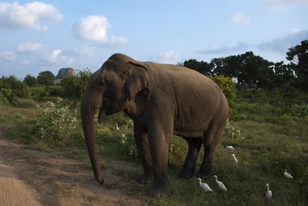 plants species: Elephant in natura a Yala National Park, Sri Lanka Archivio Fotografico