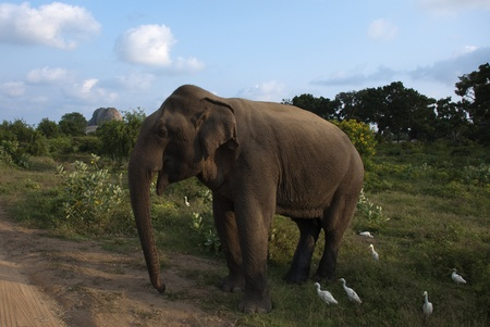 Elephant in nature at Yala National Park, Sri Lanka