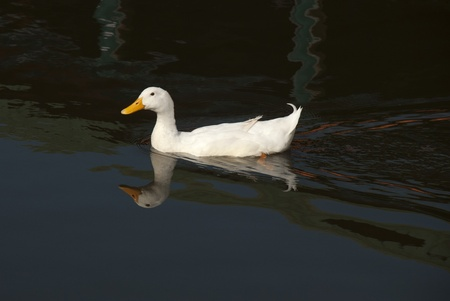 A snow goose swimming in water. Stock Photo