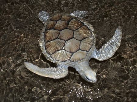 Sea turtle swimming just under water. Stock Photo - 13578582