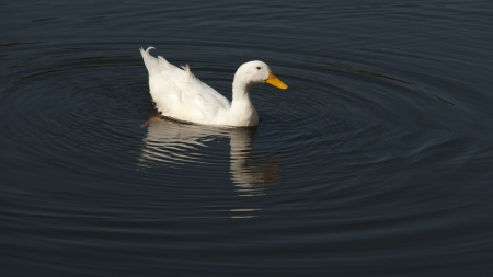 A snow goose making ripples on water.