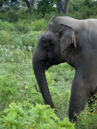 Elephant in nature at Yala National Park, Sri Lanka.