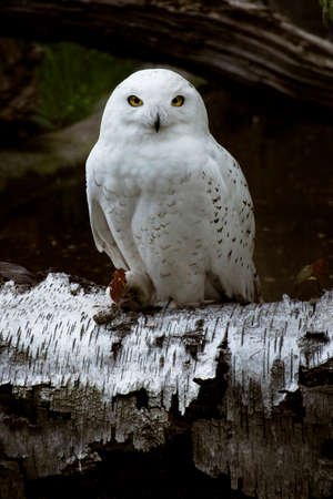 Snowy owl (bubo scandiacus) sitting in birch log. Nature awakening from winter. Quebec's official bird