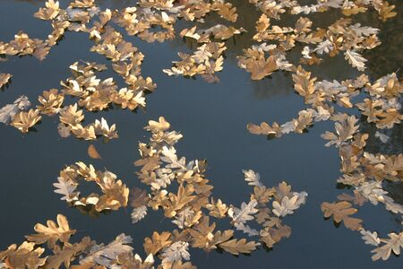 Oak leaves floating the the water