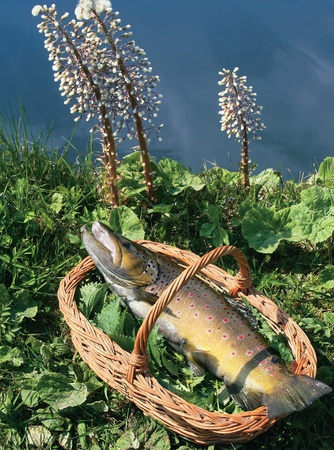 Common trout in a basket at the riverbank, on a bedding of fresh nettle Stock Photo - 10551497