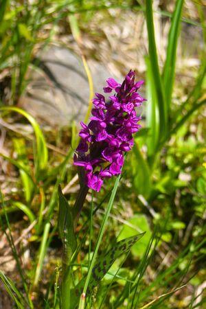 beautyful: Alpine flower Stock Photo