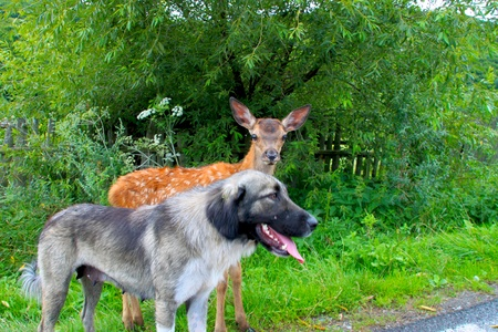 A fawn with a dog Stock Photo - 10689801