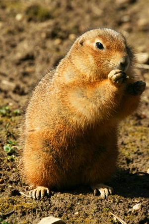 A gopher is standing and watching for food