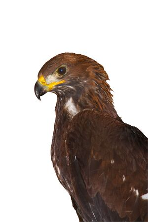 A golden eagle with a white background Stock Photo - 10689793