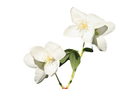 Beautyful Jasmine flower with a white background Stock Photo