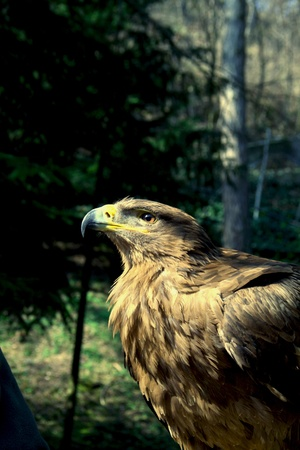 A golden eagle with a leafy environment Stock Photo - 10737095