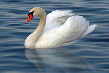 White swan with reflection on water photo