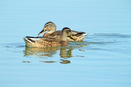 Two ducks in blue water photo