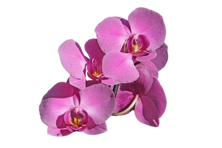 Pink orchid flowers white background Foto de archivo