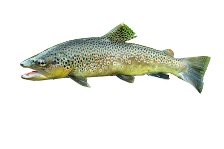 Common trout isolated on white background 스톡 콘텐츠