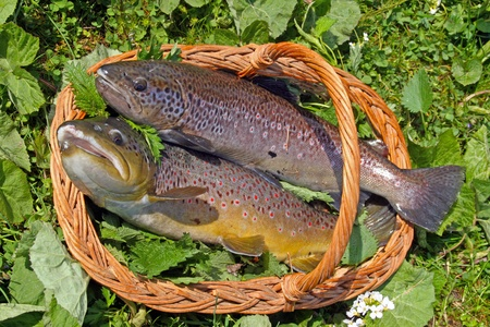 Two trouts in a basket Stock Photo - 10845315