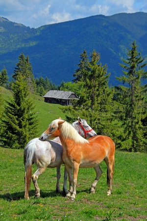 Two horses on the meadow before alps Foto de archivo