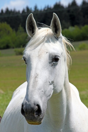 A white horse looking into the camera.
