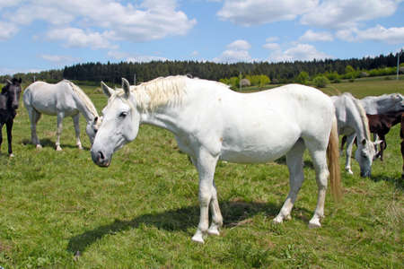 White horses graze on the pasture photo