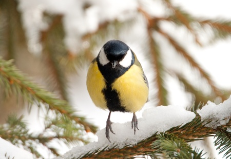 Close-up of a Great Tit sitting on a pine