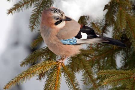 Close-up of an Eurasian Jay on a pine tree in winter photo