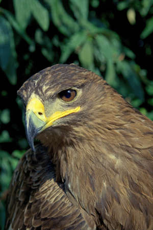A golden eagle with a leafy environment photo