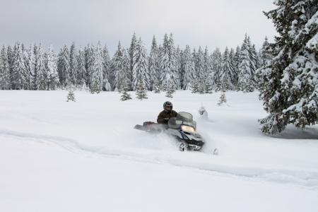 Man on a snowmobile among huge pine trees