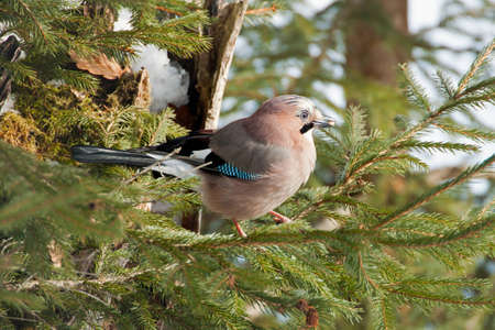 Close-up of an Eurasian Jay on a pine tree in winter