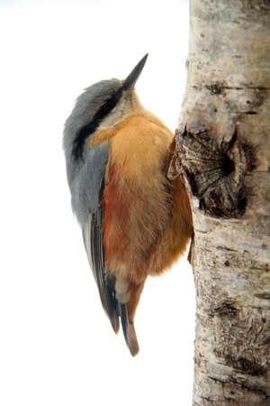 Close-up of an Eurasian Nuthatch  climbing up a tree