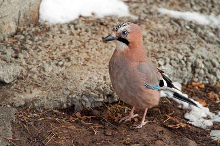 An Eurasian Jay posing for the camera photo