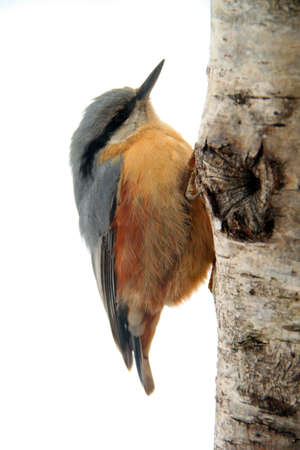 Close-up of an Eurasian Nuthatch climbing up a tree Stock Photo