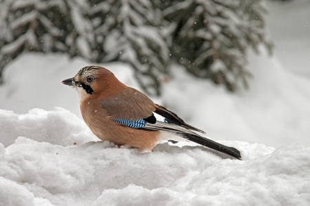 Close-up of an Eurasian Jay sitting in the snow