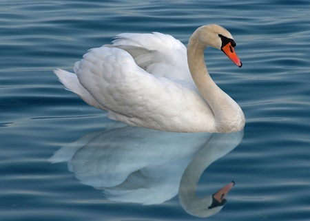 A lonely white swan with reflection on the water photo