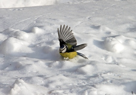 A Great Tit is bathing in the snow photo