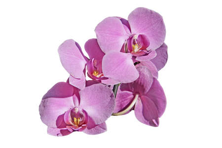 Pink orchid flowers white background Stock Photo