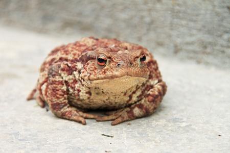 ferruginous: Close-up of a big, ferruginous toad Stock Photo