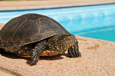 plastron: A big green turtle posing next to a swimming pool Stock Photo