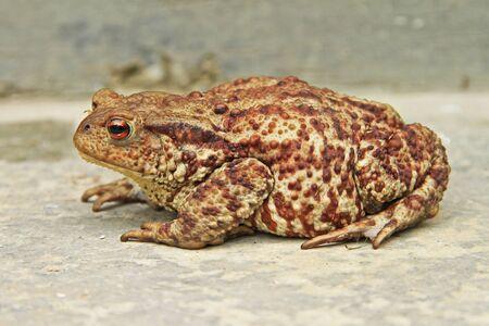 ferruginous: Close-up of a big  ferruginous frog on the ground