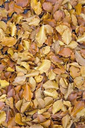 Yellow autumn leaves on the ground Stock Photo - 16439180