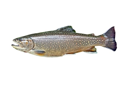 freshwater fish: A trout isolated on white