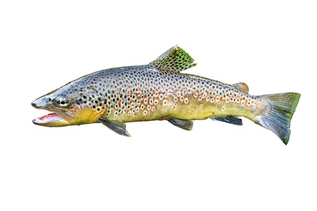 gilled: A common trout isolated on white background