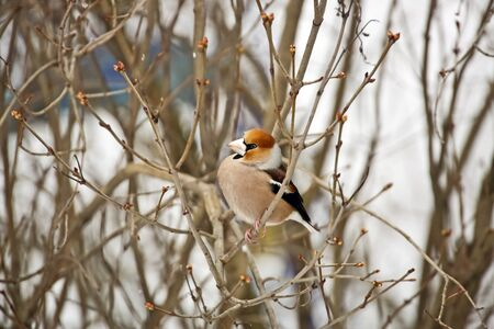 A hawfinch sitting on a branch photo
