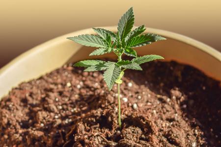 Wachsender Anbau von medizinischem Hanf-Cannabis-Marihuana, schießt durch den Boden Standard-Bild