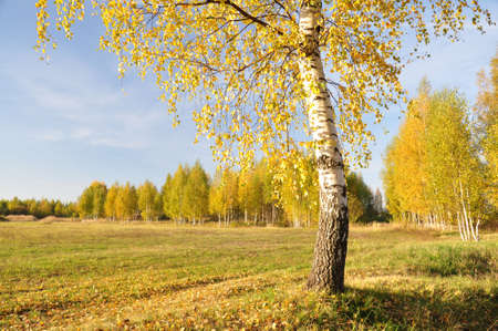 One birch on the edge of the field Stock Photo - 12992381