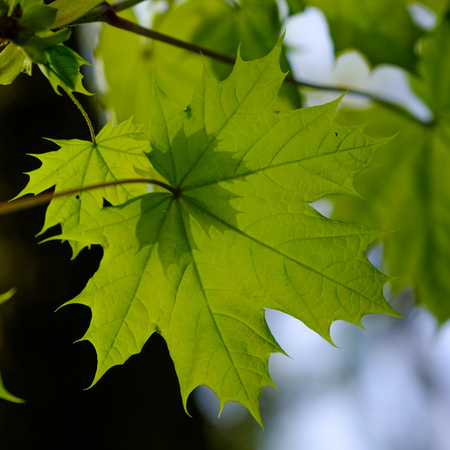 Shadow of small on large both young maple leaves