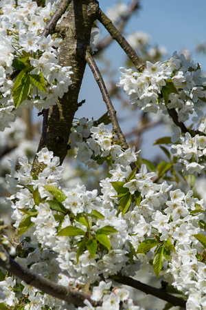 Zoom into fully blooming cherry tree in the spring sun